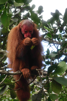 uakari monkey amazon tour